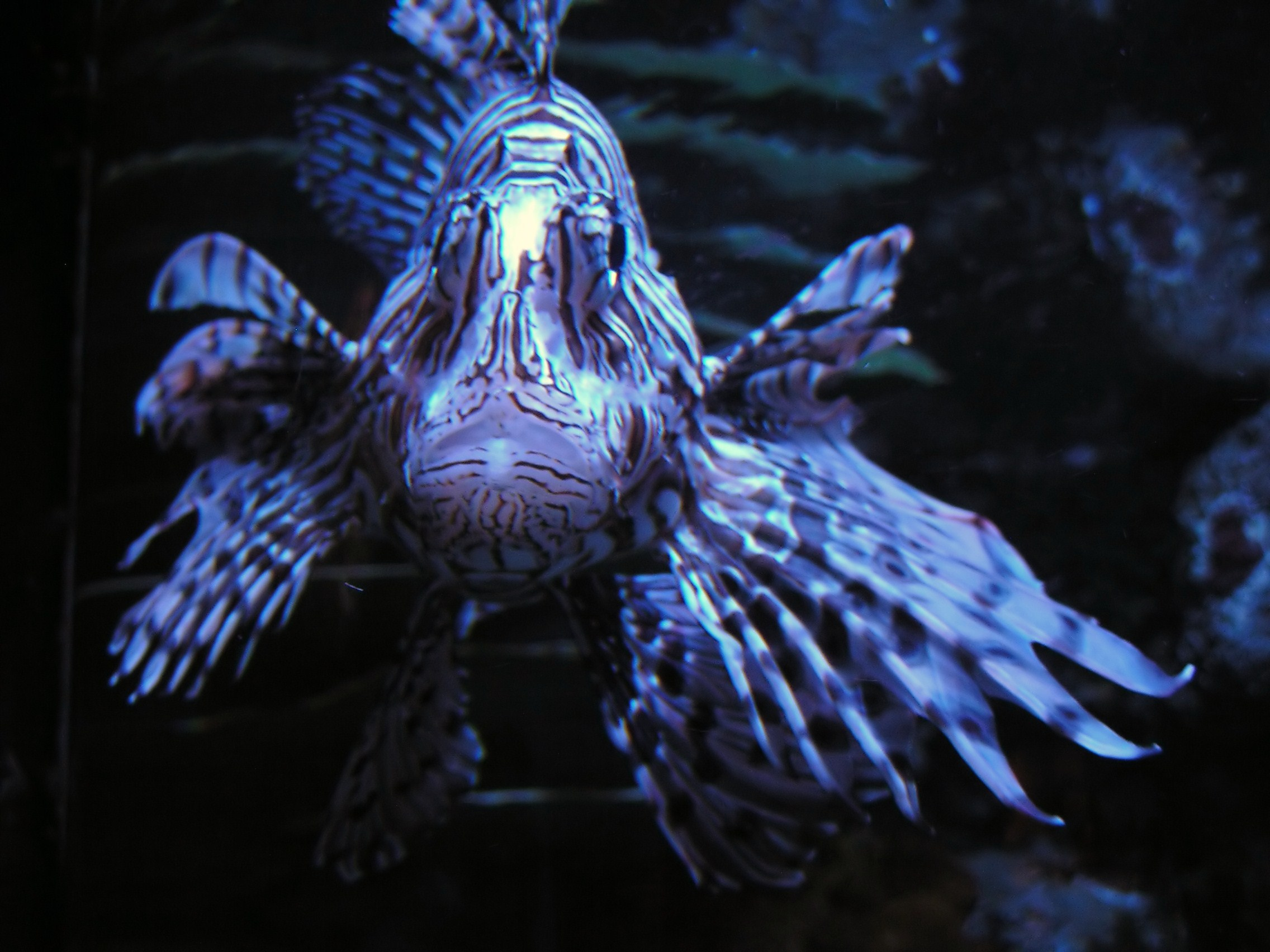 Lionfish invade our oceans!