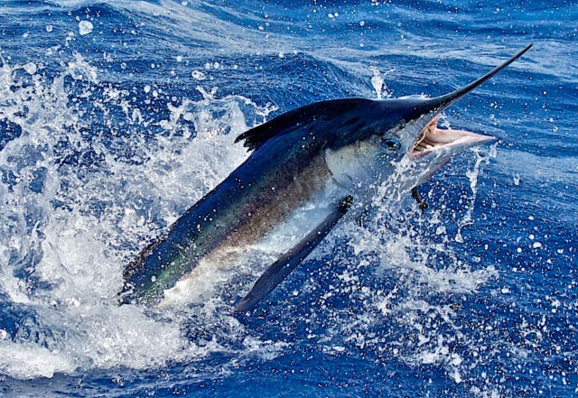 sportsmanchannel-sailfish