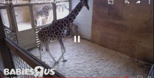 baby giraffe you tube